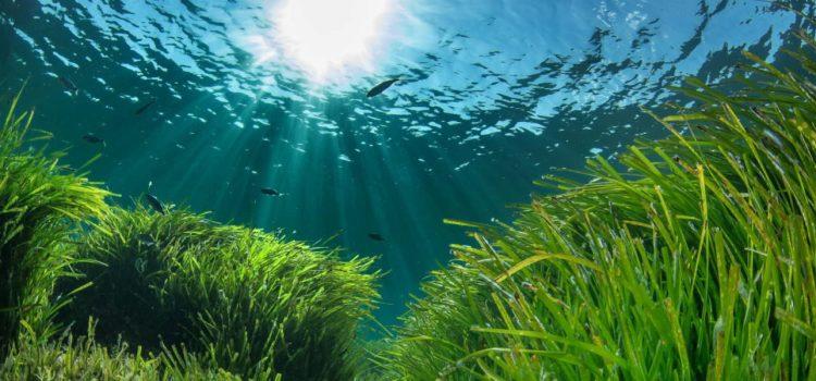 Usos tradicionales y propiedades de la posidonia oceánica